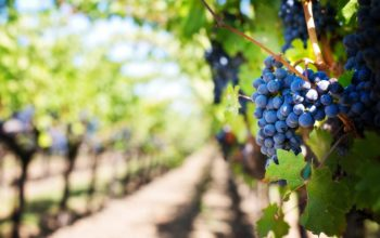 viticulture grapes