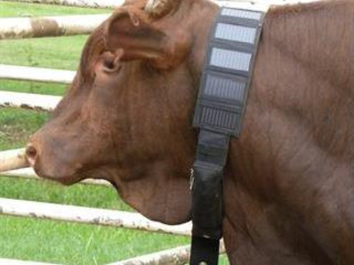 cow with IoT animal husbandry